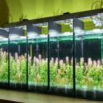 Nên bật đèn liên tục hay ngắt quãng cho hồ thủy sinh?