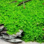 Cách trồng và chăm sóc Trân Châu Ngọc Trai
